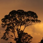 dipterocarp silhouette-cropped-credit_rob_loveridge