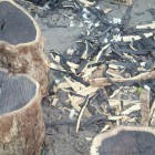 blackwood_stumps