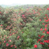 Rhododendron forest 4