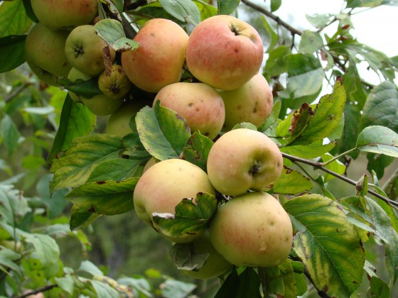 Related to domesticated apples, wild apples (Malus siversii) are threatened with extinction in their native habitat. Credit: G. Lazkov