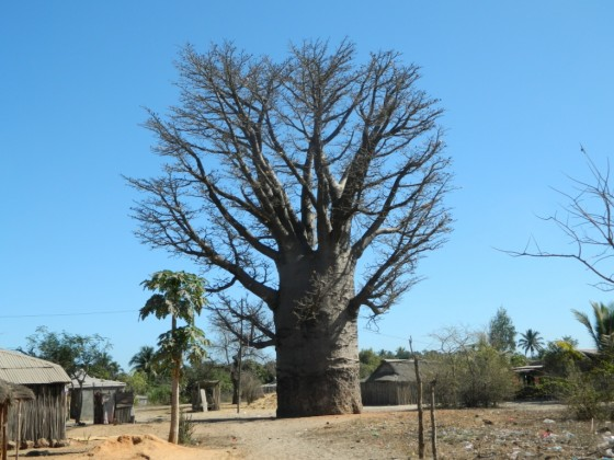 Grandidier's baobab growing by a village in west Madagascar.  Credit: Daudet Andriafidison