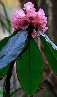 The big tree rhododendron is highly valued as an ornamental tree.  Credit: J. Xu/FFI