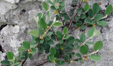 Cotoneaster cambricus (photo by ukwildflowers.com)