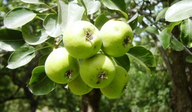 The Bukharan pear (Pyrus korshinskyi also known as Pyrus bucharica)
