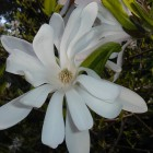 The beautiful star magnolia (Magnolia stellata) is popular with gardeners but Endangered in the wild.
