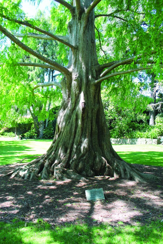 Metasequoia glyptostroboides. Endangered. Reported as held in 316 ex situ collections worldwide.