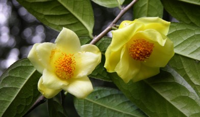 Picture of Camellia nitidissima in flower