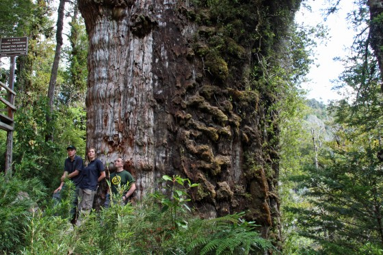 The Patagonian cypress is a giant tree, but highly threatened by habitat loss. Credit: Dan Luscombe
