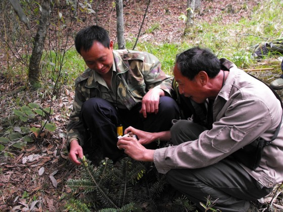 Nature reserve staff monitor Ziyuan Fir seedling - Credit Lin Wuying FFI