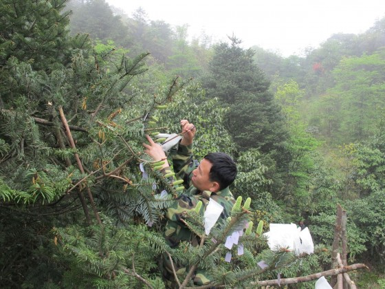 Dr Hu Xinghua carries out artificial pollination of the Ziyuan fir. Credit: Ding Tao/GIB.