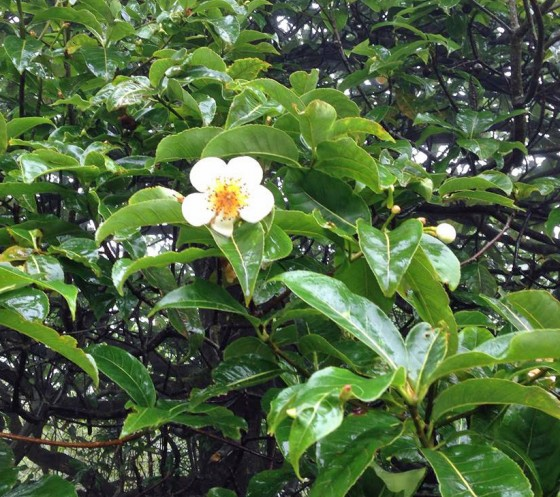 Shima superba - a wild relative of tea. Credit: Dave Gill/FFI.