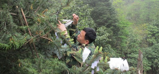 Hand pollination of adult Ziyuan fir (Abies ziyuanensis) in the wild. Credit; Dr Hu Xinghua