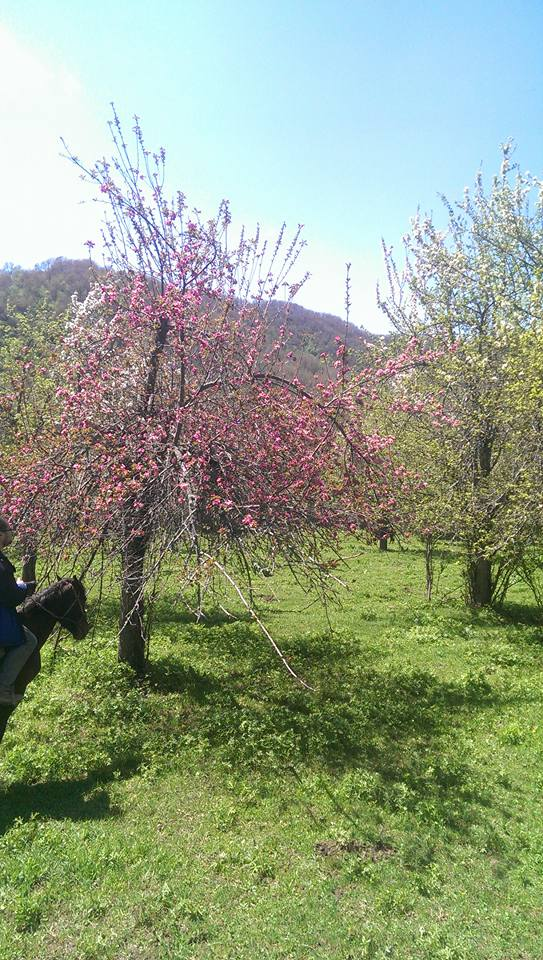 Planted  Malus niedzwetzkyana, surrounded by other apple species, also in bloom.