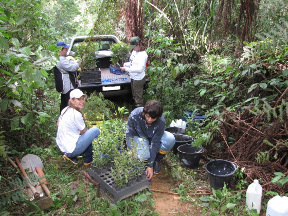 Volunteers planting threatened trees back into the Araucaria forest. Credit: Sociedade Chauá