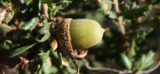 The small acorns of Quercus dumosa. Credit: Flickr/Jerry Kirkhart.