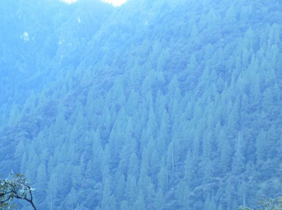 Natural stand of Tsenden in Dangchu valley earmarked for logging