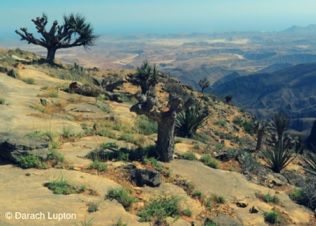 Arabian dragon trees in Oman. Credit; Darach Lupton.