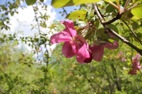 The pink flower of the Niedzwetzky's apple tree. Credit: B Wilson.
