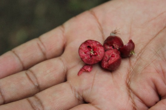 The red fruit of the Niedzwetzky's apple tree. The unique pigmentation of this species makes it identifiable against other apple species. Credit: B. Wilson.