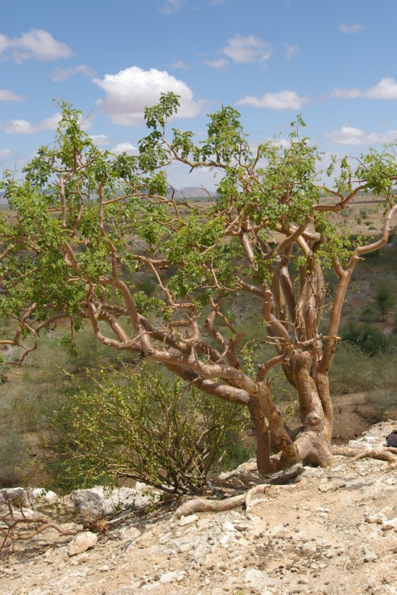 Endemic tree to Ethiopia. Critically Endangered
